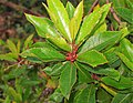 Arbutus unedo. Borrachinal.jpg
