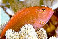 Sixband hawkfish
