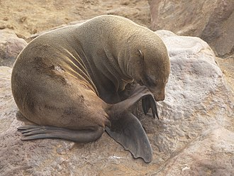 Brown fur seal - A fur seal grooming itself at the Cape Cross Seal Reserve on the Skeleton Coast