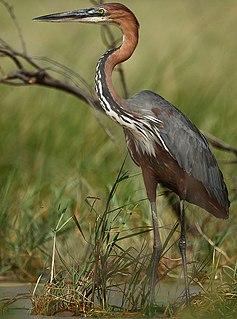 Goliath heron Species of bird