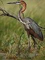 Ardea goliath -Lake Baringo, Kenya-8.jpg