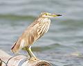 Ardeola bacchus winter plumage - Laem Phak Bia.jpg