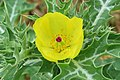 Argemone mexicana - Mexican Prickly Poppy - at Beechanahalli 2014 (13).jpg