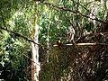 Ariramba em rio taquari 04.jpg