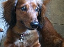 Weenie Dog Puppies For Sale In Nc