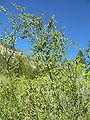 Artemisia dracunculus 5.jpg