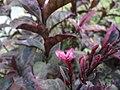 Arya-Pseuderanthemum-jayana-2019 04.jpg