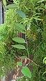 Arya - Tiliacora triandra on Polyscias fruticosa tree - Kukusan Timur 2019.jpg