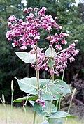 Asclepias cordifolia.JPG