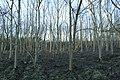 Ash plantation, Lochore Meadows - geograph.org.uk - 1611286.jpg
