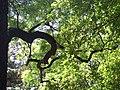 Ash tree in Odessa Botanical garden.jpg