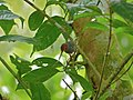 Ashy Tailorbird (Orthotomus ruficeps) collecting material for its nest (15622130772).jpg