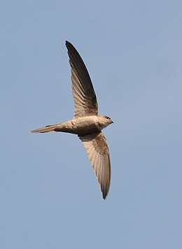 Asian Palm Swift Cypsiurus balasiensis in flight 01.JPG