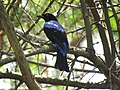 Asian fairy-bluebird IMG 4463.jpg
