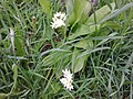 Asparagales - Allium ursinum - 005.jpg
