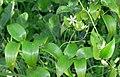 Asparagus asparagoides (4).jpg