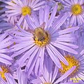 Aster amellus 'King George' and guest (SG) (32129677474).jpg