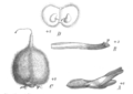 Astragalus cicer Taub121a.png