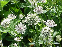 Astrantia major7.jpg