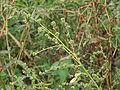 Atriplex patula inflorescence, uitstaande melde bloeiwijze (5).jpg