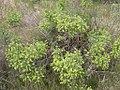Atriplex spinosa female bush-4-13-04.jpg
