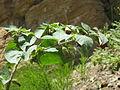 Atropa belladonna (16627789612).jpg