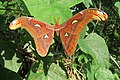 Attacus atlas - Atlas moth - at Peravoor (11).jpg