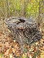 Auricularia mesenterica 101870381.jpg