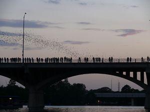 Mexican free-tailed bat - Dusk emergence of bats at the Congress Avenue Bridge in Austin, Texas, U.S.