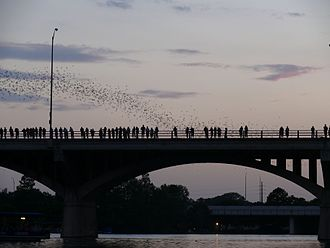 Mexican free-tailed bat - Dusk emergence of bats at the Congress Avenue Bridge in Austin, Texas