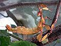 Australische Gespenstschrecke fcm.jpg
