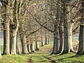 Avenue of oaks, Coker Park - East Coker - geograph.org.uk - 1097467.jpg
