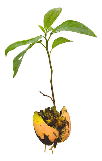 Avocado - Persea americana, young avocado plant (seedling), complete with parted pit and roots