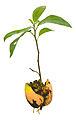 Avocado Seedling.jpg