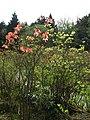Azalea mollis - geograph.org.uk - 788443.jpg
