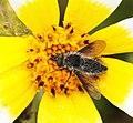 BUG on a flower (4-23-10) carrizo plain nat mon -06 (4552237456).jpg