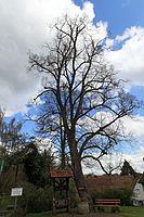 Bad Teinach-Zavelstein - Zavelstein - Krokusstraße - Hindenburglinde 03 ies.jpg