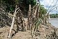 Banana trees destroyed.jpg