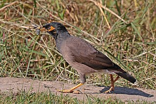 Bank myna (Acridotheres ginginianus) with frog Jojawar.jpg
