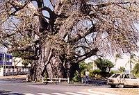 Baobab M