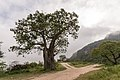 Baobab Wadi Hinna Dhofar Oman.jpg