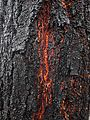Bark of Iron bark (Eucalyptus sideroxylon).jpg