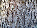 Bark of Picea abies.JPG