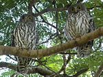 Barking Owls (Ninox connivens).jpg
