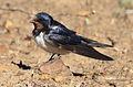 Barn swallow, Hirundo rustica, at Suikerbosrand Nature Reserve, Gauteng, South Africa (22747761533).jpg