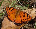 Baronet. Euthalia nais - Flickr - gailhampshire.jpg