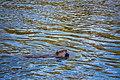 Beaver, Yellowstone River (28847e0c-ed69-4d54-80cc-6a8bab134d72).jpg