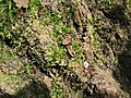 Bedbugs on the old Birch. - panoramio.jpg