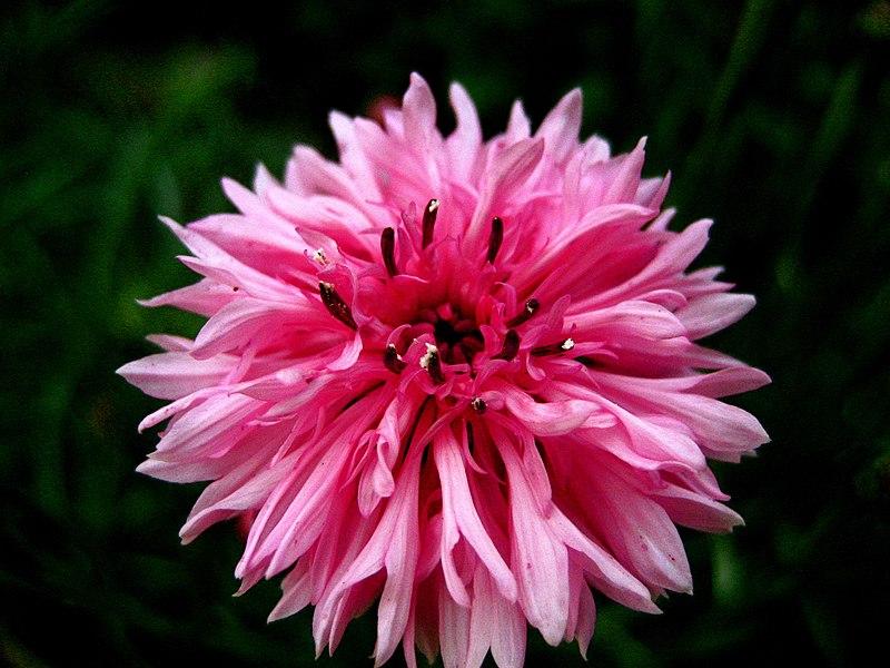 File:Bee Balm (Monarda didyma).jpg