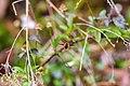 Bee fly (26074365497).jpg